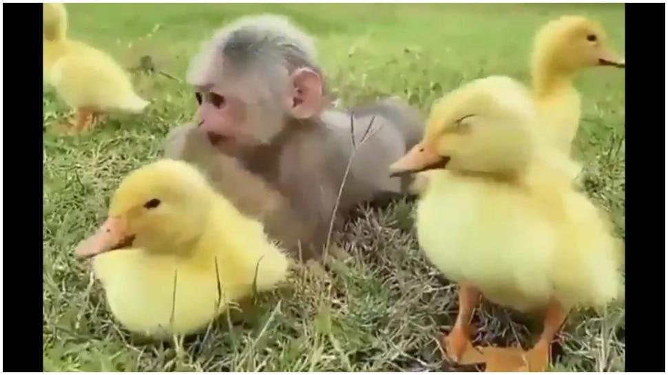 Friendship Day: बंदर और बतख में दिखा गजब याराना, दिन बना देगा यह प्यारा वीडियो