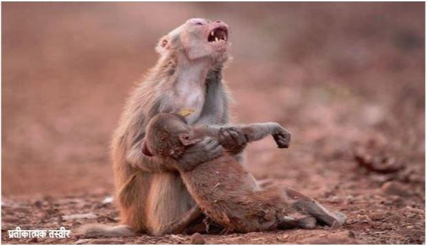 अमानवीयः कर्नाटक में बंदरों को जहर देकर बोरों में भरा और पीट-पीटकर मार डाला, HC ने लिया संज्ञान