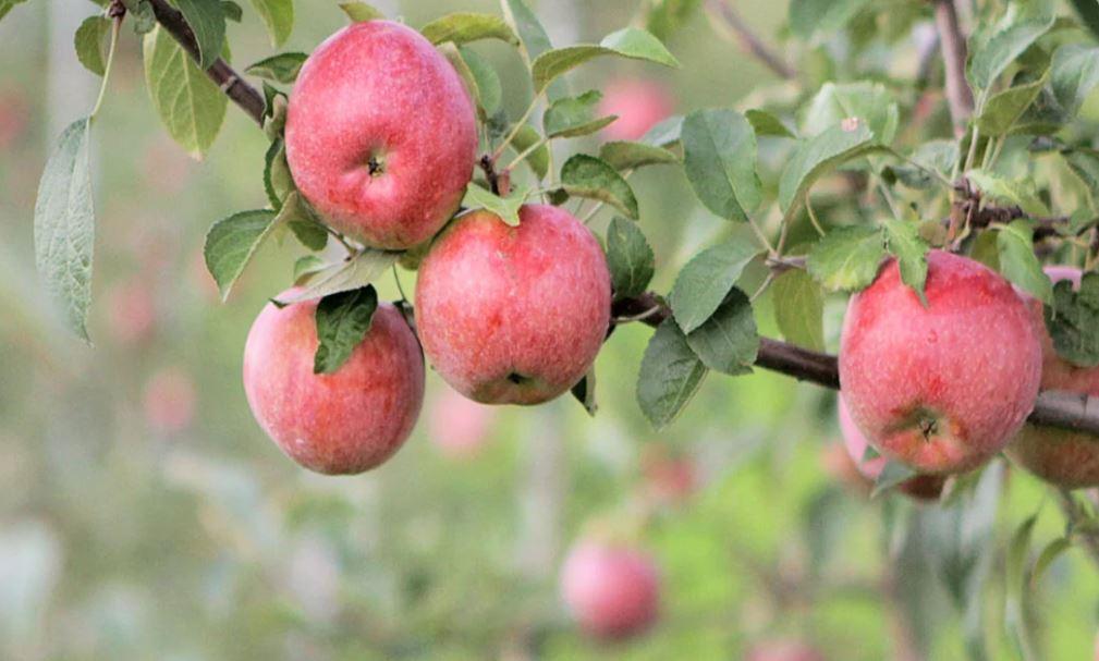 कश्मीर में बदल रही है तस्वीर, विकास की इबारत लिख रहे इटली से आए सेब प्लांट