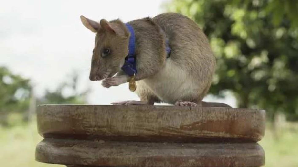चूहों पर हुआ परीक्षण