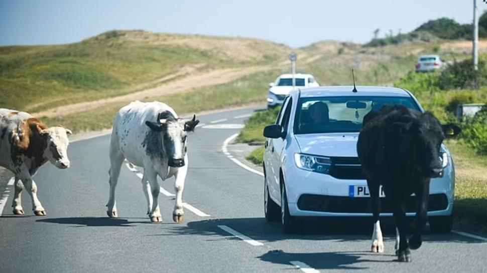 सड़क पर घूमती गाय ने किया महिला पर ऐसा Attack, Helicopter से करना पड़ा Airlift