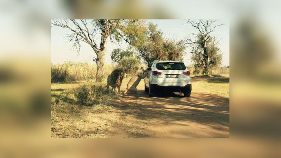 शेरनी के मुंह से टपक रहा था खून, लड़की को ऐसे चबाकर मार डाला