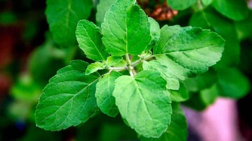 तुलसी की पत्तियां खाने से दूर रहती हैं ये बीमारियां, बच्चों को भी मिलता है बड़ा फायदा