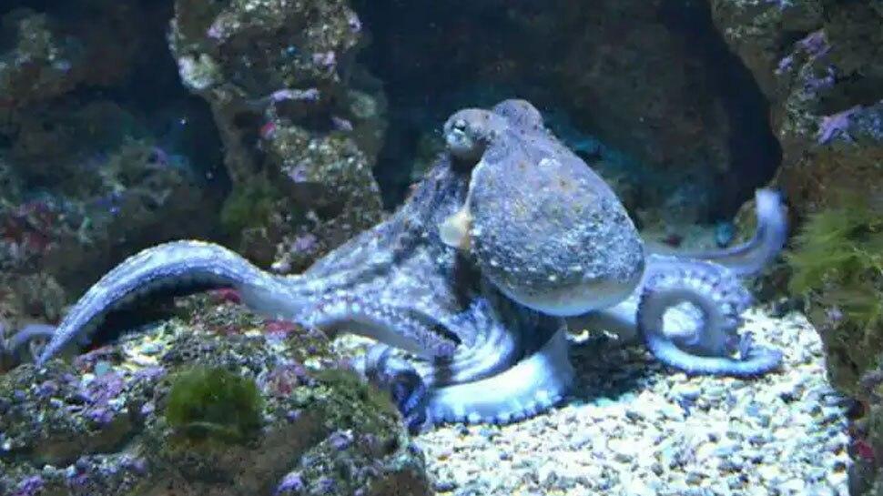 बड़ी जिद्दी होती हैं Female Octopus, 'जबरदस्ती' करने पर पार्टनर को देती हैं ऐसी सजा