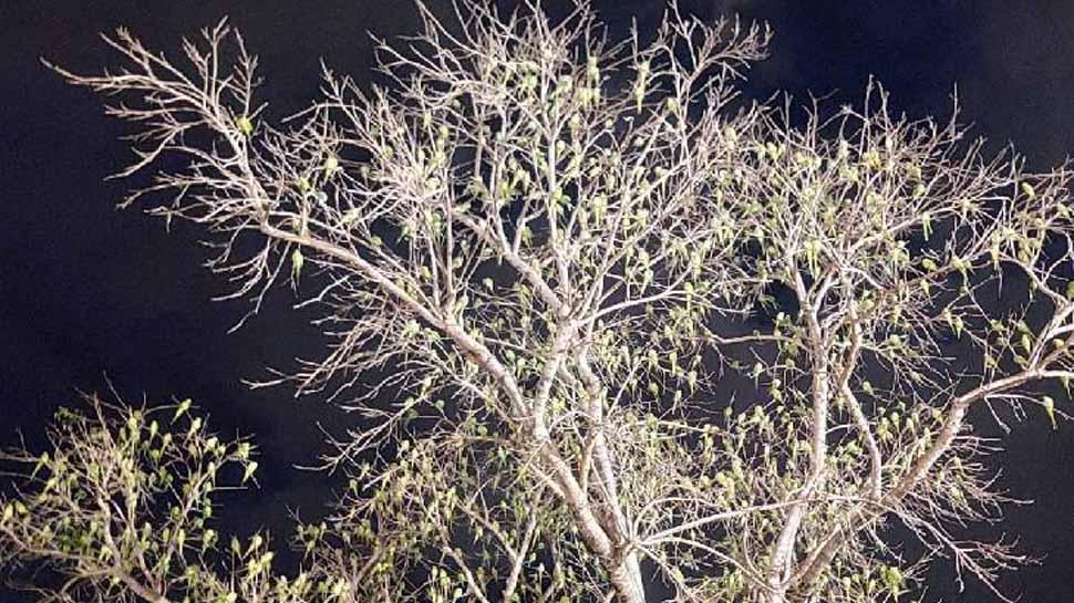 एक ऐसा पेड़, जो दिन में पूरा सूखा और रात में अचानक से हरा हो जाता है, जानिए इस रहस्य के बारे में