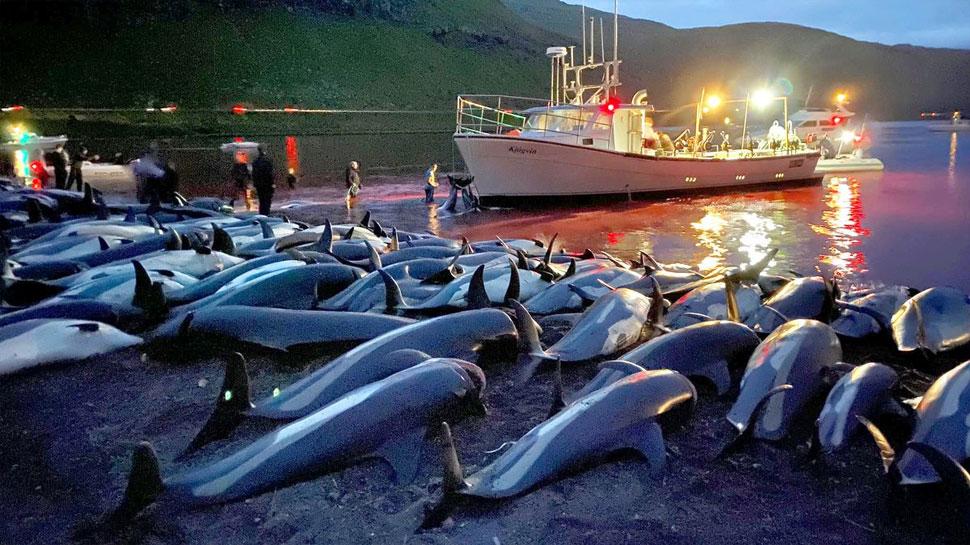 परंपरा के नाम पर यहां मार दी गईं 1500 Dolphins, खून से समुद्र का रंग हो गया लाल