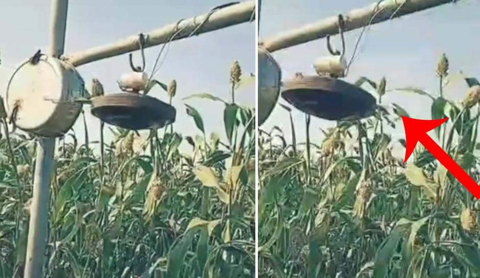 દેશી જુગાડ: ખેડૂતનો ઉપયોગ ' દેશી જુગાડ ', પક્ષીઓને ખેતરમાંથી ભગાડવા માટે યુક્તિ સમજવી મુશ્કેલ છે