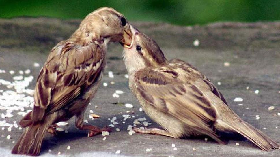 Sparrows_in_Danger