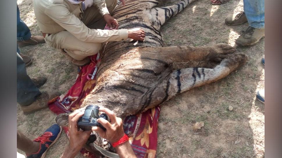 Madhya Pradesh: Tiger dead body found in Satna