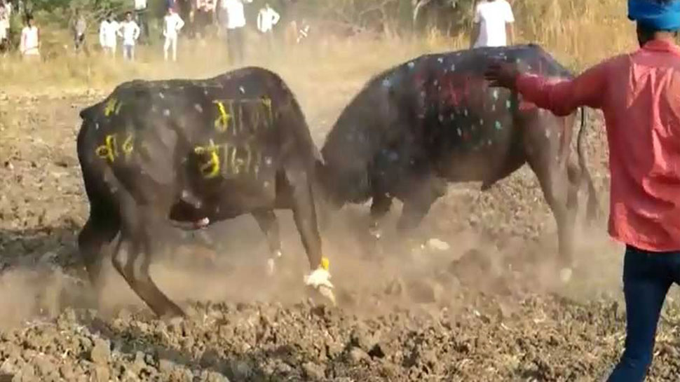 Rajasthan buffaloes are fought For entertainment in Pratapgarh