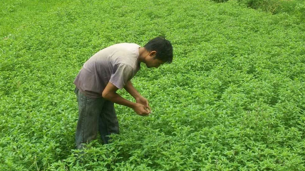 Chamoli: Tulsi teas of the mountains sold in abroad, farmers are earning in lakhs