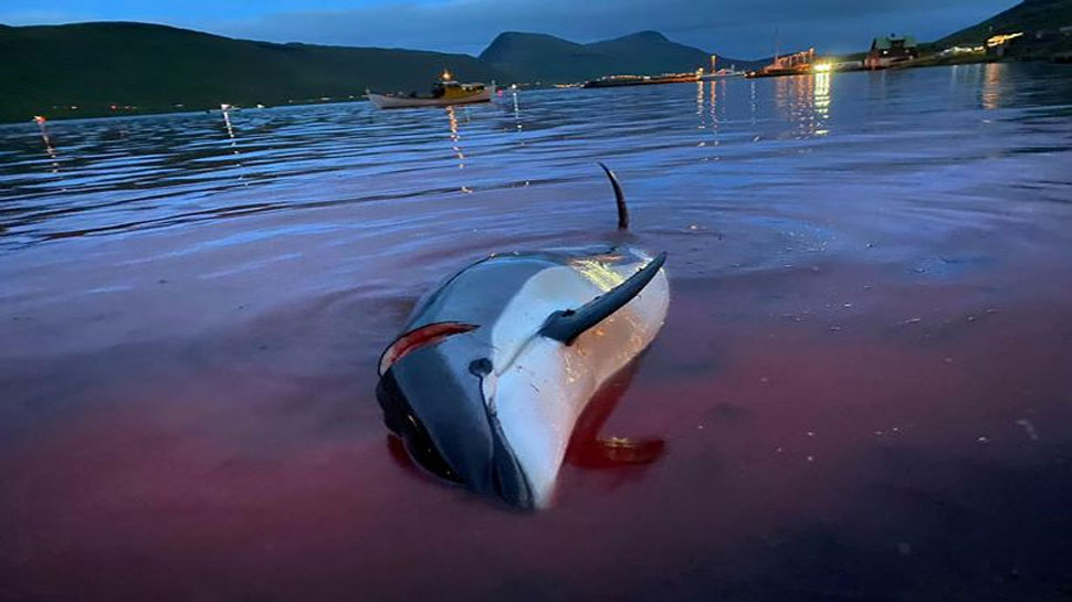 Dolphins slaughtered