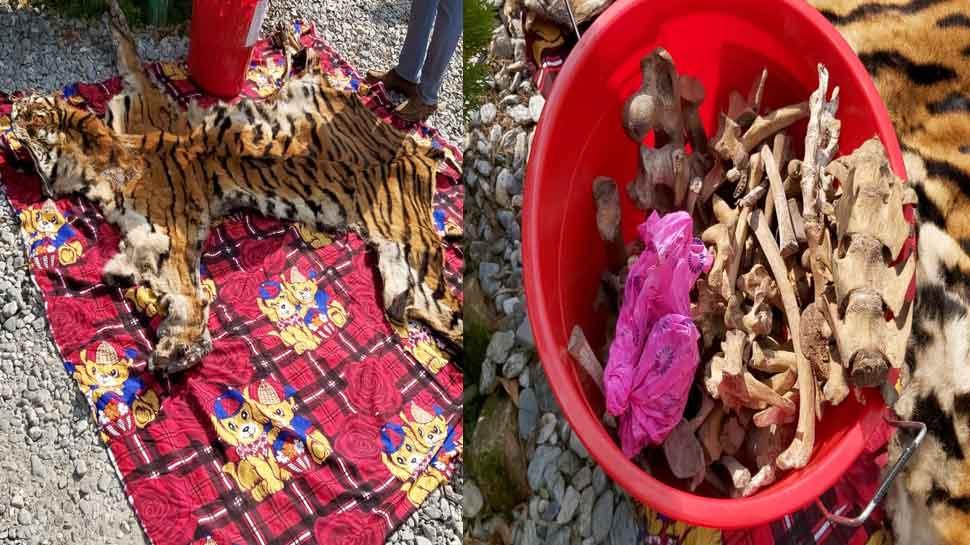 Assam: 2 international smugglers arrested with Royal Bengal tiger skins and bones