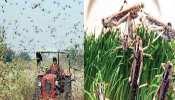 इस तरह खत्म होगा टिड्डियों का प्रकोप, फसलों को बचाने का नया तरीका