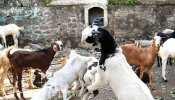 लग्जरी गाड़ियों से करते थे बकरियों की चोरी, जानकर पुलिस भी रह गई हैरान