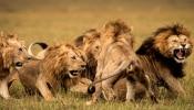 कोरोना ने इंसान क्या शेरों को भी नहीं छोड़ा, हैदराबाद में 8 बब्बर शेर हुए कोरोना पॉजिटिव