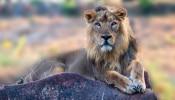 चेन्नई के चिड़ियाघर पर कोरोना अटैक, 4 शेरों में मिला डेल्टा वेरिएंट