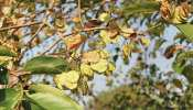 परागण के समय पेड़ भी फैला सकते हैं Coronavirus, निकोसिया यूनिवर्सिटी के शोध में चौंकाने वाला खुलासा