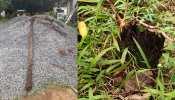 30 लाख साल पुराना डायनासोर युगीन विलुप्त फर्न प्रजाति का 2000 वर्ष पुराना पेड़ हुआ नष्ट