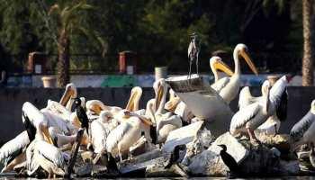 उदयपुर में सैलानियों के लिए आकर्षण का केंद्र बने विदेशी पक्षी