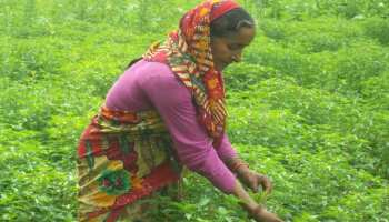 चमोलीः विदेशों में बिक रही पहाड़ों की तुलसी चाय, किसानों की हो रही है लाखों में कमाई