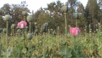 झारखंड : अफगानिस्तान जैसी हो गई है खूंटी की स्थिति, धड़ल्ले हो रही अफीम की खेती