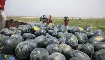 बिहार : कोसी की रेतीली जमीन पर हो रही तरबूज की खेती, बंपर पैदावार से किसान खुशहाल
