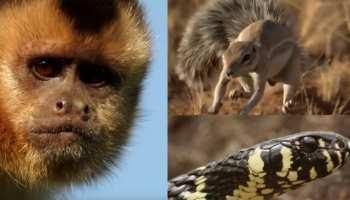 VIDEO: सांप के जबड़े में छटपटा रहा था चूहा, बचाने के लिए बंदर ने लगा दी जान की बाजी