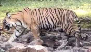 राजस्थान: रणथंभौर में फिर आई खुशियां, टी 8 बाघिन ने दिया 2 शावकों को जन्म