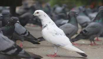 कबूतरों की 'बेवफाई' और 'भारत प्रेम' से पाकिस्तानी परेशान, बोले- हमें लाखों का नुकसान