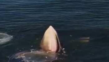 Whale ने एक साथ निगल लीं हजारों मछलियां, देखिए हैरान कर देने वाला Viral Video