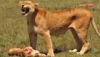 बेजुबां मां की ऐसी दर्दनाक वीडियो अब तक नहीं देखी होगी आपने! बच्चे की मौत पर दहाड़ मार कर रोई शेरनी