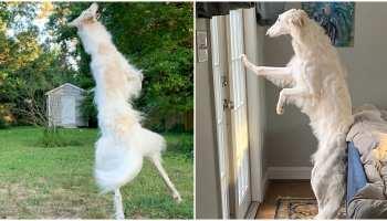 Weird News: कुत्ते की लंबाई ने किया हैरान, लोगों ने समझ लिया जिराफ