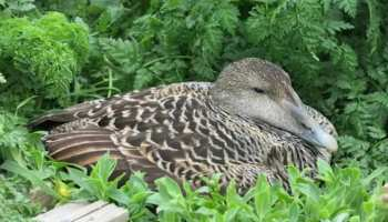 Wings of Eider polar duck can make you rich, know the price
