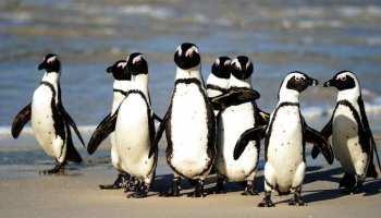 South African penguins: मधुमक्खियों ने कर दी 64 पेंग्विंस की हत्या? अजीबोगरीब घटना कर देगी हैरान