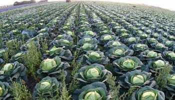 खेत से गोभी तोड़ने की शानदार जॉब, 63 लाख रुपये सालाना होगी कमाई