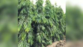 Benefits of Ashoka Tree Bark: महिलाओं से जुड़ी हेल्थ प्रॉब्लम्स को चुटकियों में दूर करेगी इस पेड़ की छाल, जानें फायदे