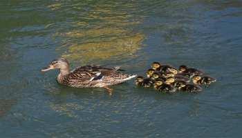 आखिर बत्तख के बच्चे क्यों हमेशा तैरते हैं अपनी मां के पीछे! रिसर्च में सामने आई ये बात