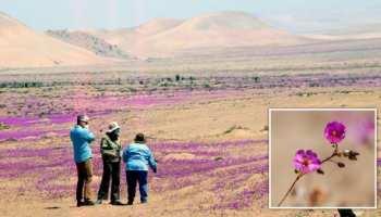Ajab Gajab News world driest Chile Atacama Desert converted in flowery desert here lots of purple flowers