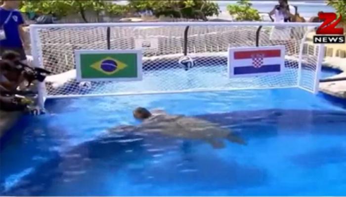 'बिग हेड' कछुअे ने की भविष्यवाणी-ब्राजील जीतेगा फीफा वर्ल्ड कप का पहला मैच