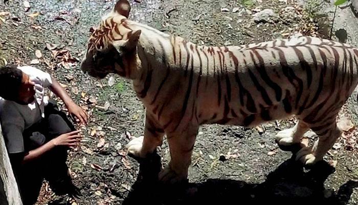दिल्ली चिड़ियाघर के बाड़े में गिरा युवक, सफेद बाघ ने ले ली जान
