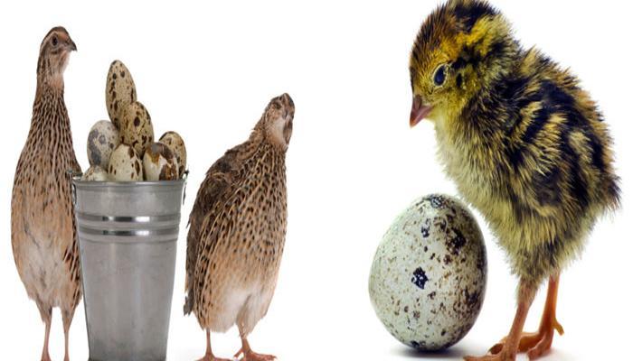 अंडे-बटेर से लोगों को दिखाया अमीर बनाने का सपना, करोड़ों रुपए लेकर हो गए फरार