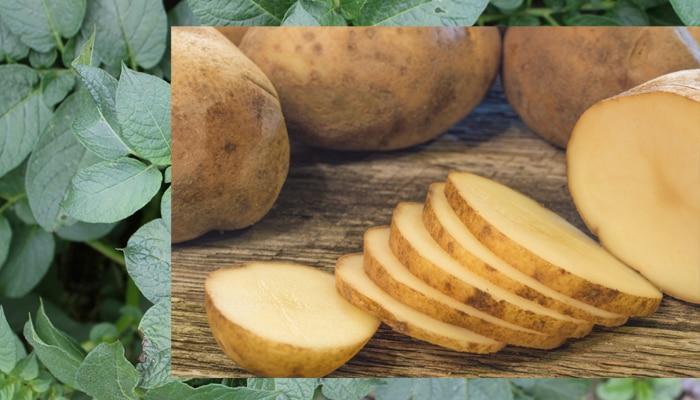 विटामिनों का बेहतरीन स्रोत हैं मीठे आलू की पत्तियां