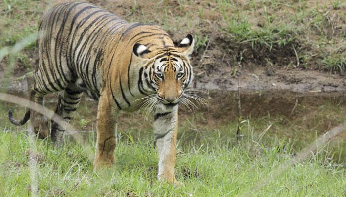 देश में बाघों की संख्या बढ़ी, अब हो गए 2226 बाघ
