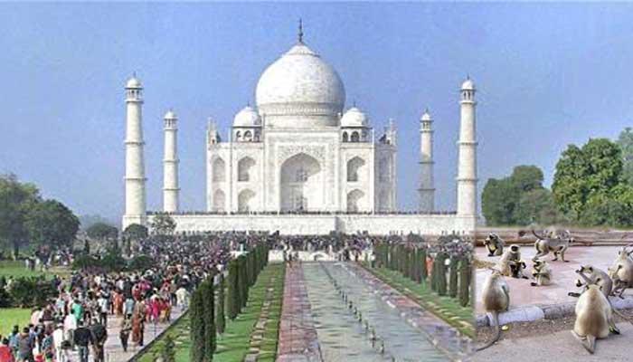 ताजमहल पर बंदरों का कब्जा, परिसर में आतंक से सहमे पर्यटक