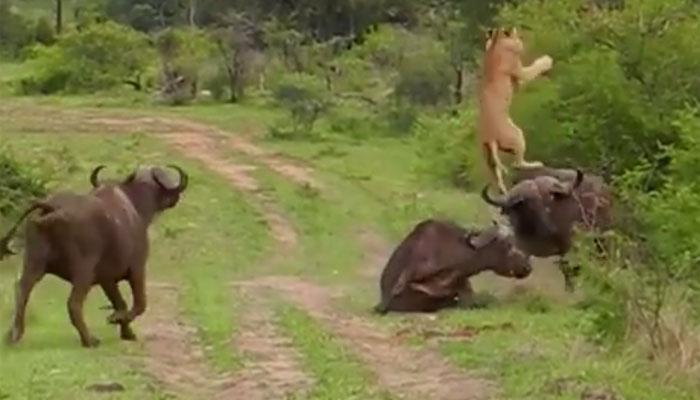 जब शेर को भैंस ने सींग मारकर हवा में उछाल दिया, वायरल हुआ वीडियो
