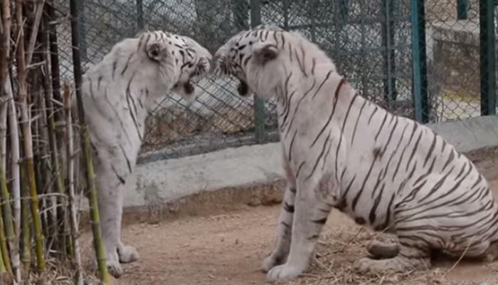 VIDEO में देखिए, दो सेफद शेरों की कैसे हुई लड़ाई?