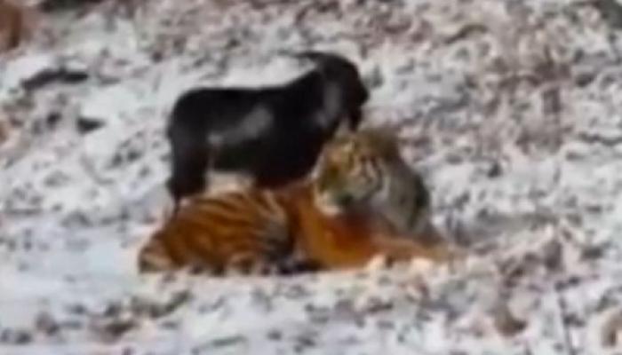 अजब दोस्ती की गजब कहानी! लंच के लिए मांद में डाली गई बकरी से बाघ ने की दोस्ती