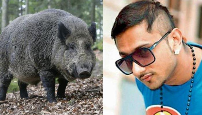 हनी सिंह के गाने बजाकर खेतों से भगाए रहे हैं जंगली सूअर