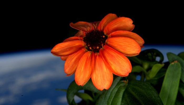 अब अंतरिक्ष में भी फूल खिलाने में मिली कामयाबी, देखें तस्वीरें